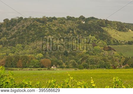 Box Hill On The North Downs Countryside And Rows Of Vines In Vineyard, Dorking, Surrey, England