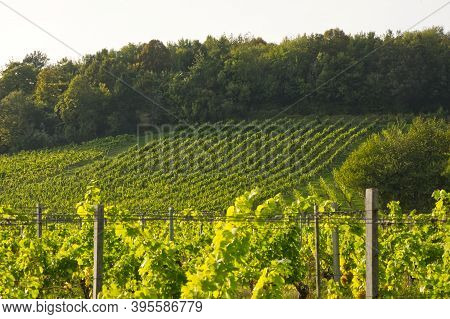 Rows Of Vines In Vineyard, Dorking, Surrey, England