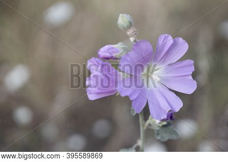 Pink Hollyhock , Althaea Rosea, Flower Blossoms. Closeup.