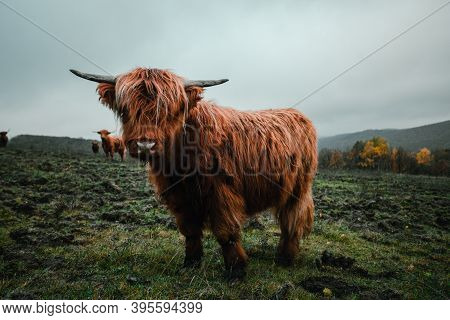 Close Up Portrait Of Furry Scottish Highland Cattle Calf In Cold Weather - Autumn Time. Beautiful Hi