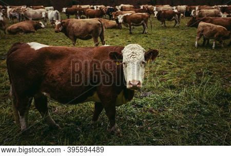 Herd Of Beautiful Cows On The Pasture Near The Forest In Moody And Dark Weather. Brown Cows On The G