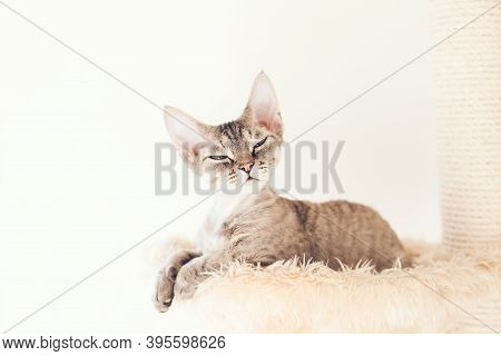 Pet, Cat Trees, Perches And Cat Scratches And Scratching Posts.  Devon Rex Is Sitting On Comfy Place
