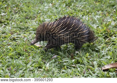 An Echidna Looking For Ants At A Green Shat At The Etty Bay Campsite In Northern Queensland Australi
