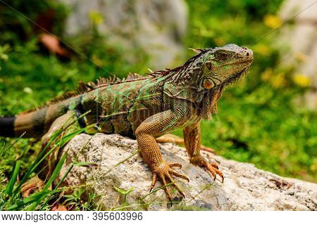 And In The Subfamily Iguanidae. Green Iguana, Also Known As The American Iguana, Herbivorous Species