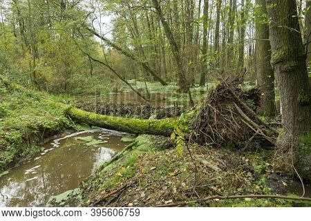 A Mid-forest Pool With A Beaver Dam.\na Wet Area, A Pool Created By The Construction Of A Dam By Bea