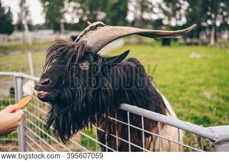 Funny Close Up Photo Of Black Hairy Goat In Zoo Eating Carrots From The Hands Of Visitors. The Valai