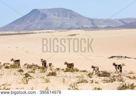 Fuerteventura Landscape, Herd Of Wild Goats In Corralejo Sand Dunes Natural Park, Canary Islands, Sp