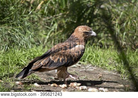 The Black Kite Is A Brown Raptor With Black On The End Of Its Wings