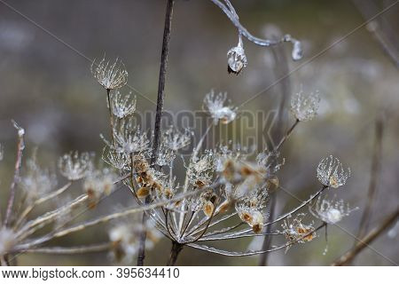 Umbelliferae (apiaceae) Plants Covered With Ice. Consequences Of Freezing Rain