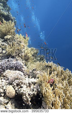 Colorful Coral Reef At The Bottom Of Tropical Sea, Hard Corals And Divers, Underwater Landscape