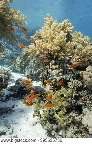 Colorful Coral Reef At The Bottom Of Tropical Sea, Yellow Broccoli Coral And Shoal Of Anthias Fishes