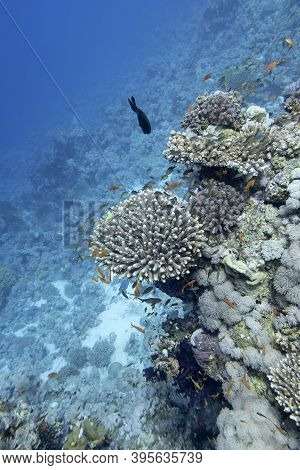 Colorful Coral Reef At The Bottom Of Tropical Sea, Hard Corals, Underwater Landscape