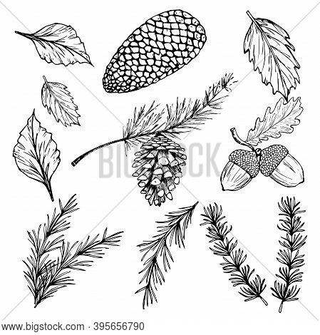 Hand Drawn Vector Illustrations - Forest Autumn Winter Collection. Spruce Branches, Acorns, Pine Con