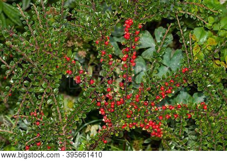 Fan Like Spreaded Twigs Of Cotoneaster Horizontalis, A Deciduous Shrub With Red Berries In Autumn
