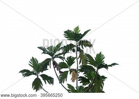 Tropical Tree Leaves With Branches On White Isolated Background For Green Foliage Backdrop And Copy