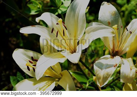 Beautiful Lily Flower On Green Leaves Background. Lilium Flowers In The Garden. Background Texture P