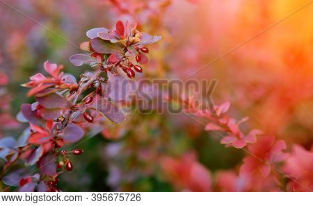 Barberry Bush, Colorful Floral Red Background, Autumn Background With Thunberg Barberry