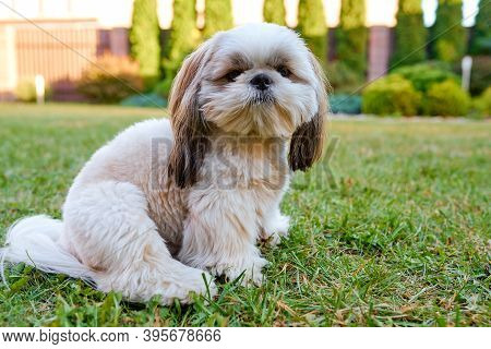 Beautiful White Dog Shih Tzu Sits On The Green Grass In The Garden