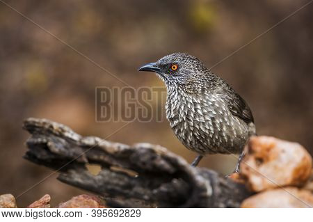 Arrow Marked Babbler Standing On A Log With Natural Background In Kruger National Park, South Africa