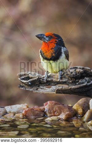Black Collared Barbet Standing On A Log At Waterhole In Kruger National Park, South Africa ; Specie