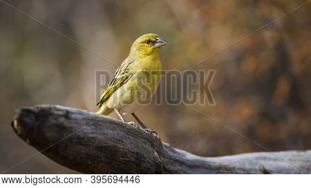 Village Weaver Standing On A Log With Fall Colors Background In Kruger National Park, South Africa ;