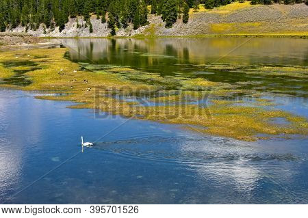 Swans In Yellowstone River, Yellowstone National Park.
