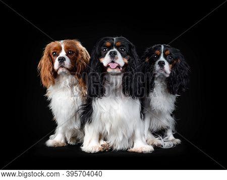 Portrait Of Cavalier King Charles Spaniel Dog On Isolated Black Background
