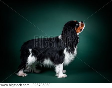 Beautiful Dog Cavalier King Charles Spaniel On A Green Background