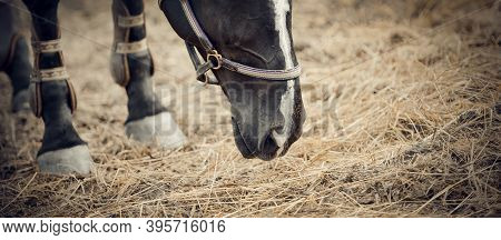 Muzzle Black Horse And Foot In Knee-caps Closeup. Portrait Of A Young Sports Horse With A White Groo