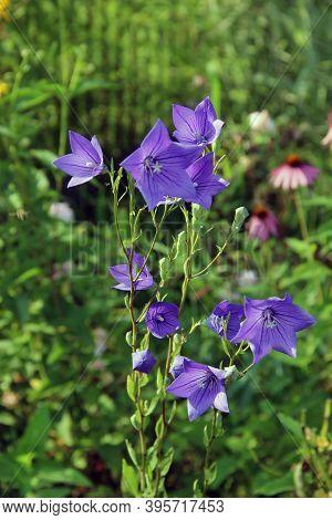 Amazing Blue Flowers With Sun Glances On It's Petals.