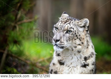Adult show leopard, panthera uncia, sitting in a forest environment. Space, for text.
