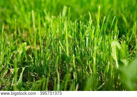 Natural Background Of Fresh Green Luscious Grass.