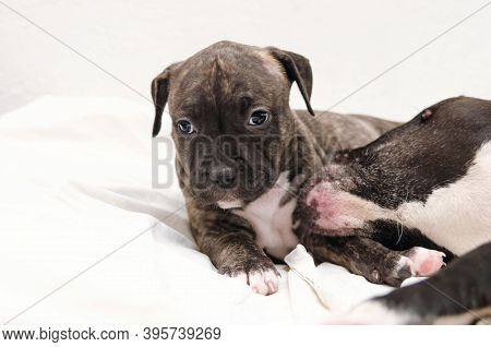 Staffordshire Terrier Two-month Puppy Dog. Young Dog Sitting With Mommy Dog. Dog Mom Playing With Sh