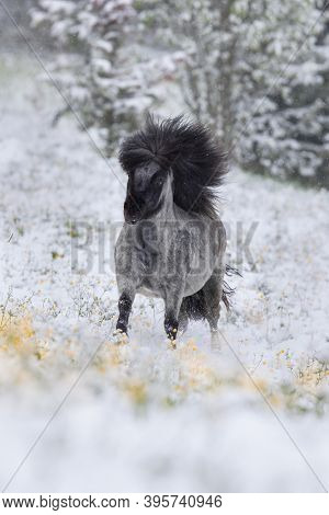Shetland stallion running on the snow in wintertime. Beautiful grey stallion galloping in the field outdoor