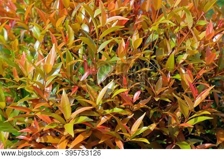 Close Up The Details Of The Plant Shoots Red (syzygium Oleana) With A Blurry Background. This Plant