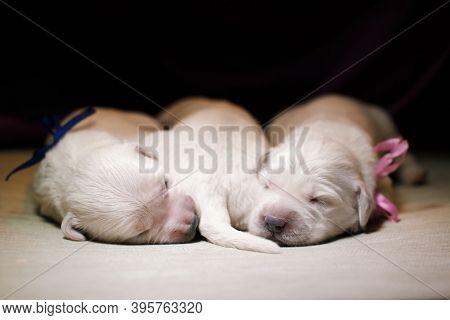Newborn Golden Retriever Puppy. Tender Photo Of A Pup. Dog At Home.