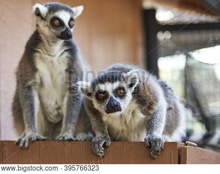 Close Up Of A Ringtailed Lemur Looking Towards Camera With Shallow Depth Of Field