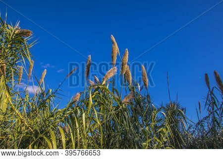 Corn Husk Plants Against A Blue Clear Sky In The Fall