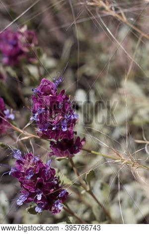 Cyme Inflorescences Of Blue Arise In Bloom From Thick Leaf Sage, Salvia Pachyphylla, Lamiaceae, Nati