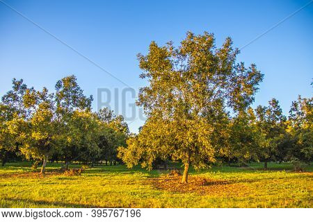 Rows Of Pecan Trees On A Pecan Tree Orchard In The Southern Fall