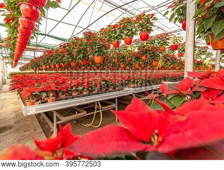 Holiday Poinsettia At Greenhouse. Poinsettia Growing In Pots