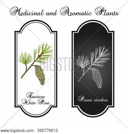 Eastern White Pine Pinus Strobus , Mtdicinal Plant, Michigan And Maine State Tree. Hand Drawn Botani
