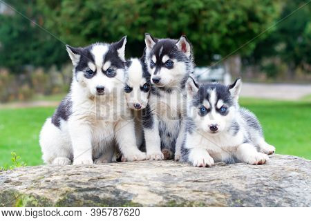 Black And White Siberian Huskies Sit On A Mountain In The Backgrounds Forests. Dogs On The Backgroun
