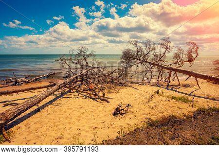 Wild Desert Beach With Fallen Dead Trees. Cape Kolka, Latvia