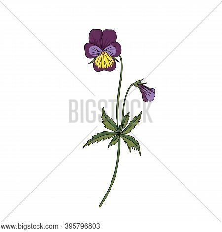 Vector Drawing Wild Pansy, Viola Tricolor , Hand Drawn Illustration Of Medicinal Plant