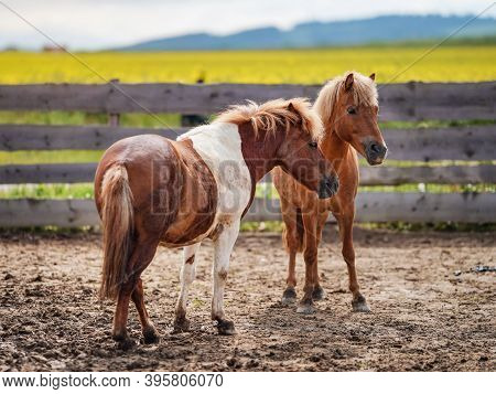 Two Small Brown And White Pony Horses On Muddy Ground, Blurred Yellow Field Background