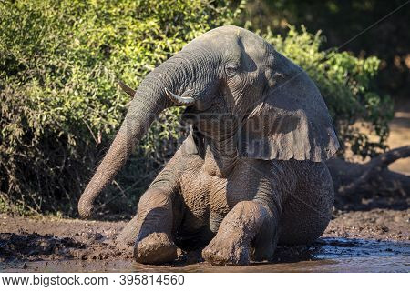 Adult Elephant Covered In Mud Sitting At The Edge Of Water In Chobe River In Botswana