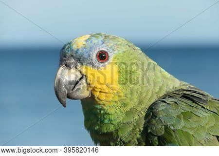 Close-up Of A Multicoloured Parrot In Front Of The Sea On Playa Blanca, Lanzarote, Canary Islands, S