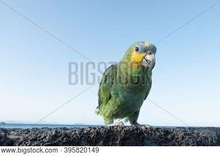 Multicoloured Parrot On Volcanic Rock, In Front Of The Sea On Playa Blanca, Lanzarote, Canary Island