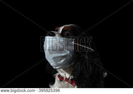 Dog Cavalier King Charles Spaniel With A Protective Mask Against Covid-19 Coronavirus On A Black Bac